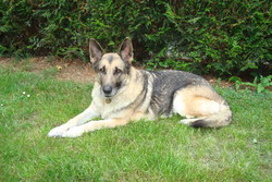 Platine, chien Berger allemand
