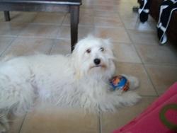 Elfie, chien Berger des Pyrénées
