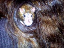 Zoulou, rongeur Rat