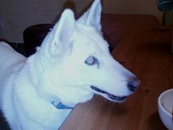 Princesse, chien Husky sibérien