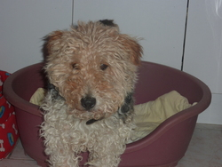 Tyco, chien Fox-Terrier