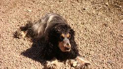 Bomba, chien Cocker anglais