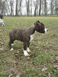 Kiara, chien American Staffordshire Terrier