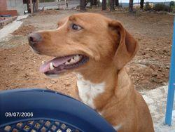 Filou, chien Épagneul français