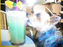 Nougatine, chien Yorkshire Terrier