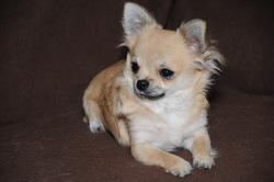 Eglantine, chien Chihuahua