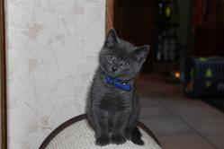 Grisou, chat Chartreux