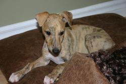 Dexter, chien Whippet