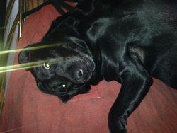 Kiara, chien Labrador Retriever