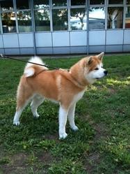 Inukai, chien Akita Inu
