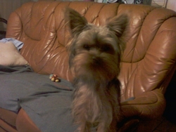 Elsa, chien Yorkshire Terrier