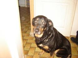 Chipie, chien