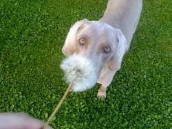 Pétrus, chien Braque de Weimar