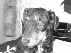 Pif, chien Jagdterrier
