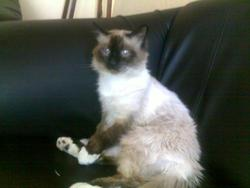 Eros, chat Birman