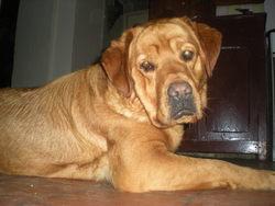 Calif, chien Boxer