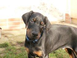 Twister, chien Dobermann