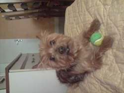 Web, chien Yorkshire Terrier
