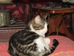 Pavlov, chat Européen