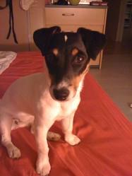 Eden, chien Jack Russell Terrier