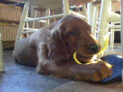 Rocky, chien Setter irlandais