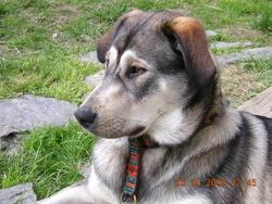 Sally, chien Malamute de l'Alaska