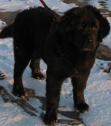 Iona, chien Terre-Neuve