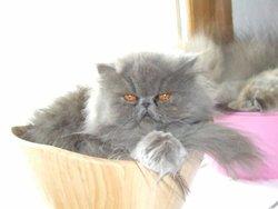 Chloée, chat Persan