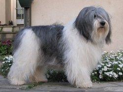Buzia , chien Berger polonais de plaine