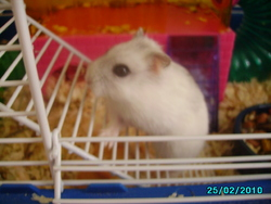 Mouss, rongeur Hamster