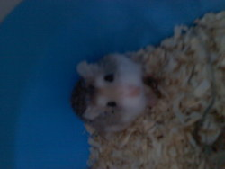 Spidy, rongeur Hamster