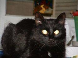 Titine, chat Européen