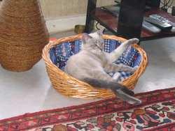 Einstein De Contièges, chat Chartreux