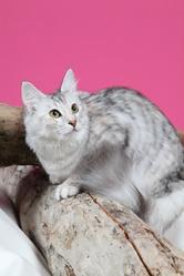 Fleur De Lune, chat Angora turc