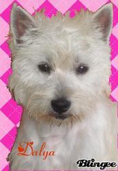 Dalya, chien West Highland White Terrier