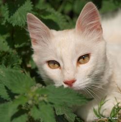 Dabir De La Forêt Verte, chat Angora turc