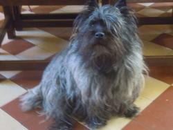 Blika, chien Cairn Terrier