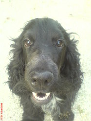 Corsaire, chien Cocker anglais