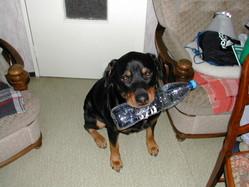 Rocky, chien Rottweiler