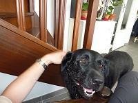 Hugo, chien Labrador Retriever