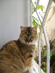 Micha, chat Européen