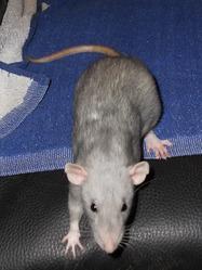 Dumdum, rongeur Rat
