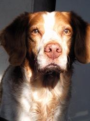 Platon, chien Épagneul breton