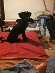 Filetta, chien Jagdterrier
