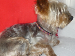 Sweety, chien Yorkshire Terrier