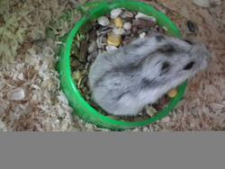 Maximus, rongeur Hamster