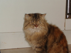 Fuche, chat Persan