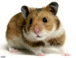 Smoothie, rongeur Hamster