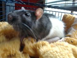 Elsa, rongeur Rat