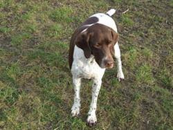 Vanille, chien Braque français